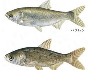 【GIF】外来魚が異常繁殖してる湖で電気ショックを流した結果wwww